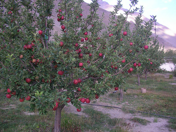 Apple trees in  town.