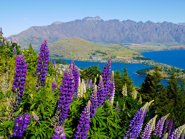 Lupine wildflowers above Queenstown.